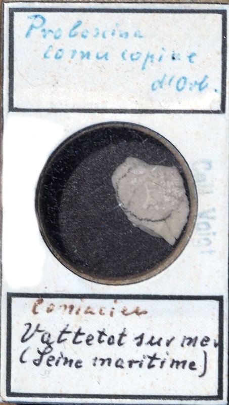 Bryozoen, Coniacien, Senckenberg, Voigt, fossil, Marine Evertebraten III