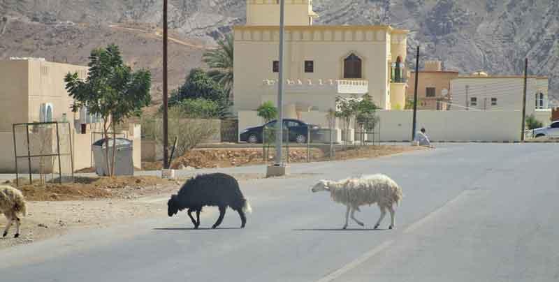 Bild 8 Schafe auf der Straße