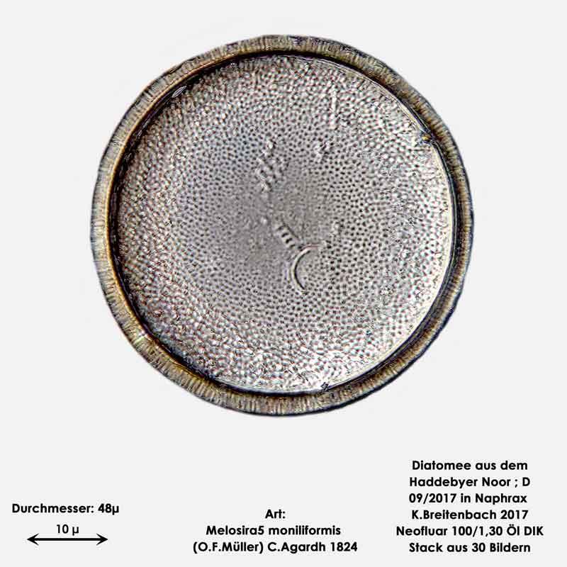Bild 13 Diatomee aus dem Haddebyer Noor in Schleswig Holstein; Art: Melosira moniliformis (O.F.Müller) C.Agardh 1824