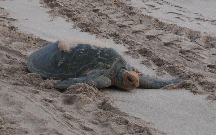 Bild 20 Schildkröte am Strand