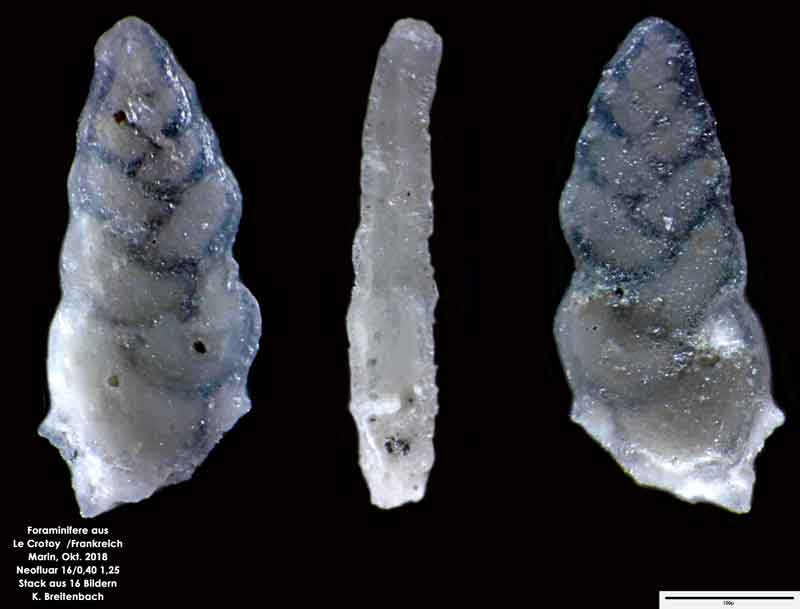 Bild 4 Foraminifere aus Le Crotoy Frankreich. Gattung: Bolivina sp