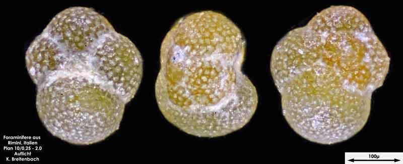 Bild 12 Foraminifere aus Strandsand aus Rimini; Gattung: Globorotalia sp.