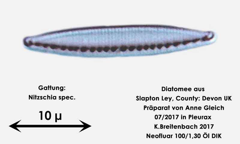 Bild 36 Diatomeen aus Slapton Ley, Devon UK; Gattung: Nitzschia spec.