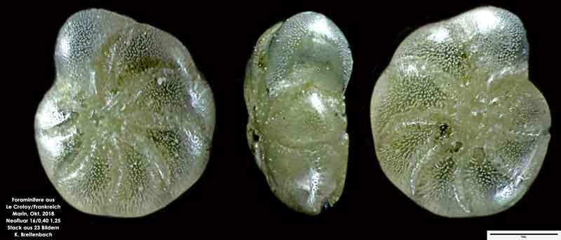 Bild 23 Foraminifere aus Le Crotoy Frankreich. Gattung: Haynesina sp