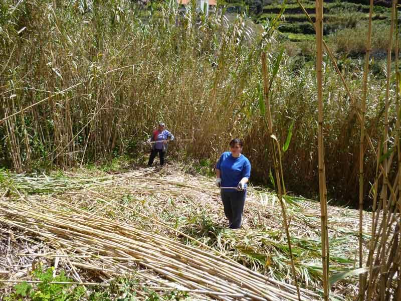 """Bild 6 Zuckerrohrernte unterwegs bei Levadawanderung, Start oberhalb von """"Ribeira Brava"""""""
