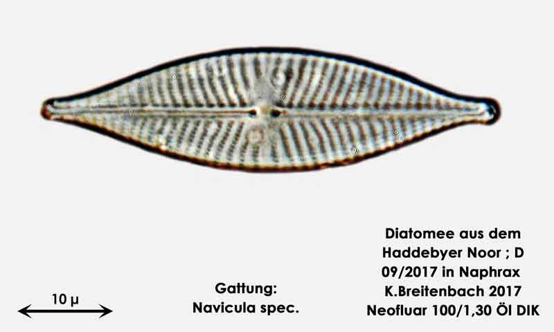 Bild 19 Diatomee aus dem Haddebyer Noor in Schleswig Holstein; Gattung: Navicula spec.