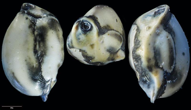 """Bild 25 Foraminifere aus Sand vom Lido in Venedig. Art: Quinqueloculina seminulum (Linnaeus, 1758), Koordinaten: 45°24'49.1""""N 12°22'42.0""""E"""