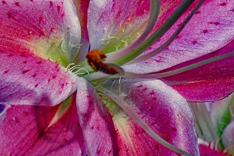 Bild 2: Blüte der Feuerlilie