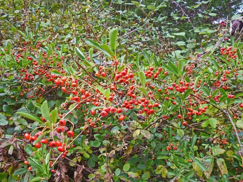 Bild 27 Beeren auf der Wanderung parallel zum Smith River in den Redwoods auf dem Hiouchi Trail