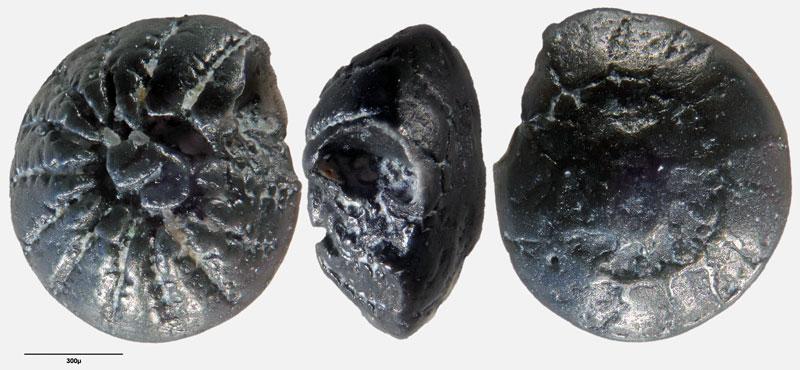 """Bild 8 Foraminifere aus Sand vom Lido in Venedig. Gattung: Ammonia sp, Koordinaten: 45°24'49.1""""N 12°22'42.0""""E"""