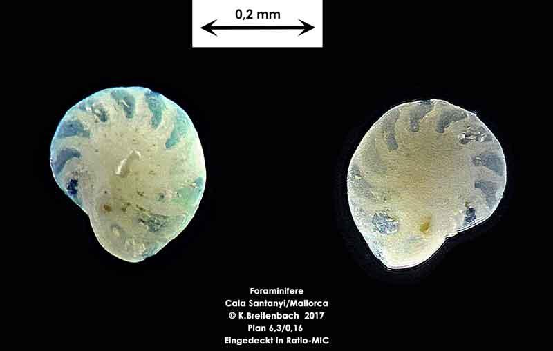 Bild 28 Foraminifere aus Mallorca Cala Santanyi, Art: konnte von mir nicht bestimmt werden