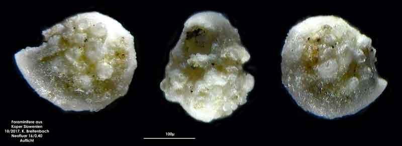 Bild 32 Foraminifere aus Koper/Slowenien Art: wurde von mir nicht bestimmt