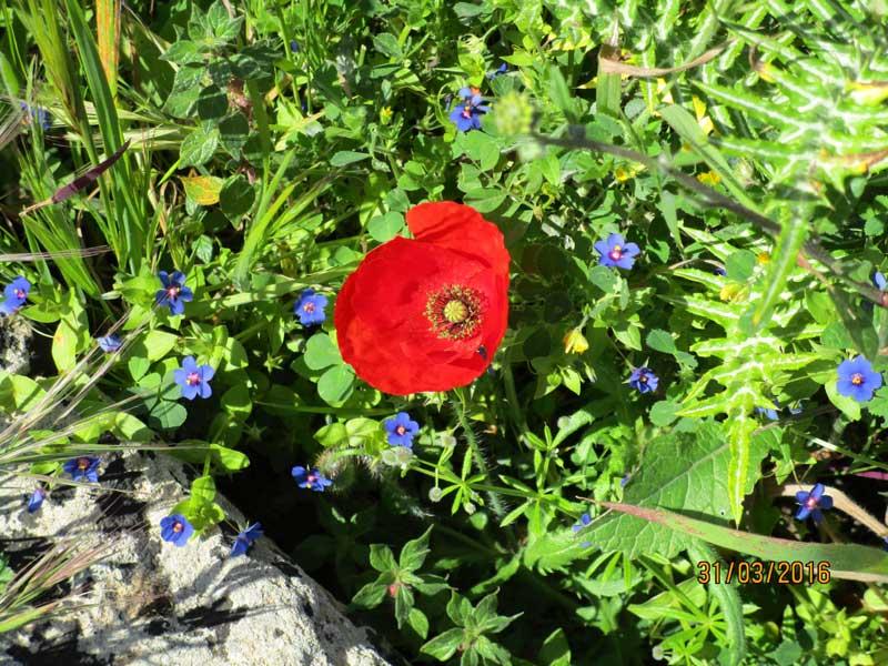 Blumen in der Tempelanlage von Selinunte