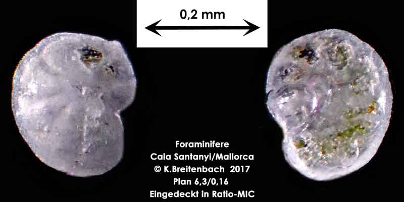 Bild 29 Foraminifere aus Mallorca Cala Santanyi, Art: konnte von mir nicht bestimmt werden