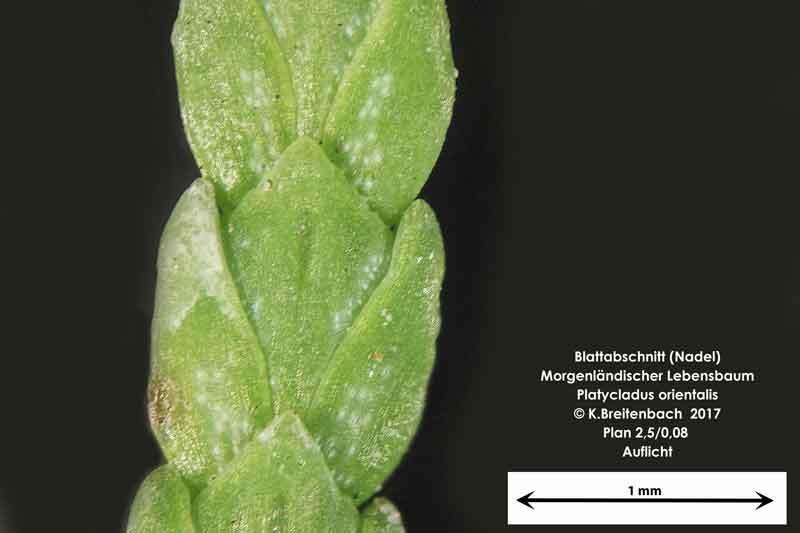 Bild 6 Morgenländischer Lebensbaum (Platycladus orientalis) Blattabschnitt