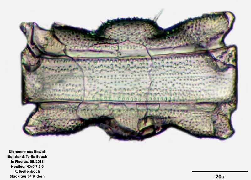Bild 49 Diatomee aus Hawaii, Big Island, Turtle Beach. Art: Odontella aurita (Lyngbye) C.Agardh 1832