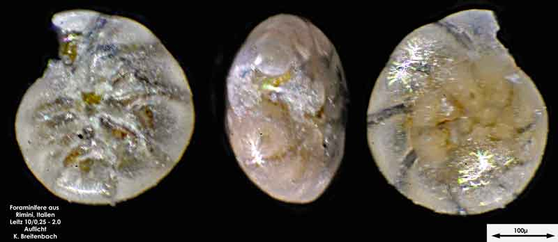 Bild 4 Foraminifere aus Strandsand aus Rimini; Gattung: Ammonia sp.