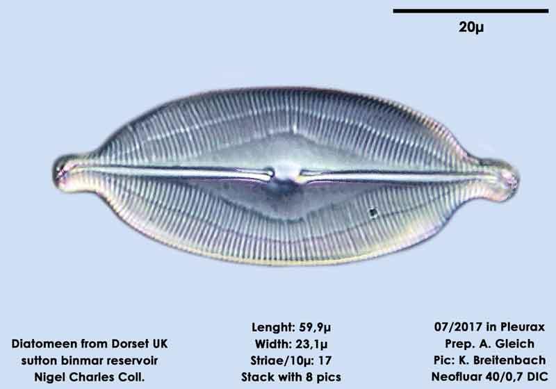 Bild 3 Diatomeen aus Dorset UK, Süßwasser. Art: Caloneis amphisbaena (Bory) Cleve 1894