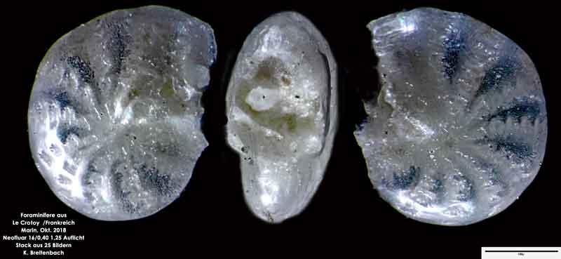 Bild 10 Foraminifere aus Le Crotoy Frankreich. Gattung: Elphidium sp
