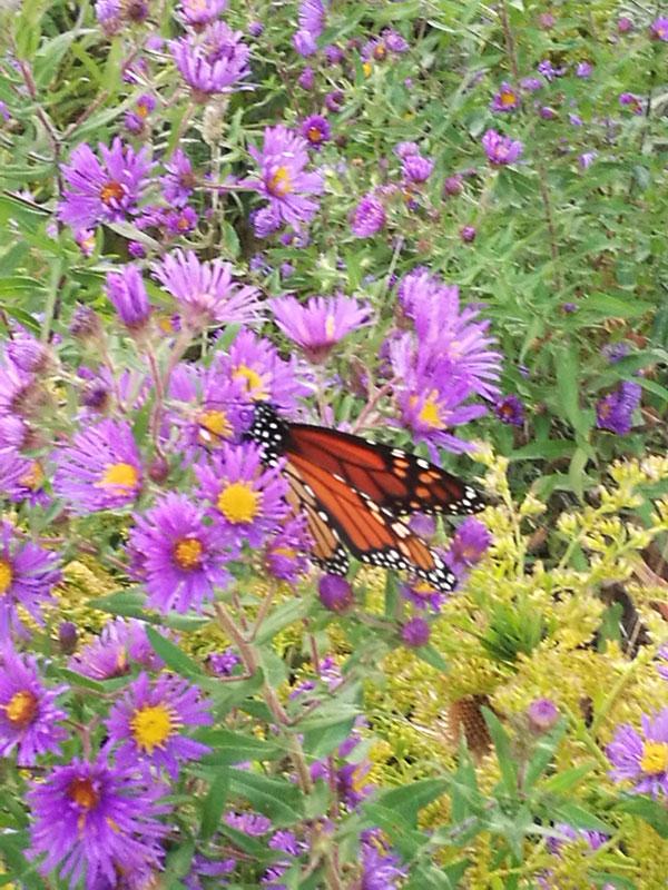 Bild 19 Monarch Falter unterwegs auf einem kleinen Spaziergang
