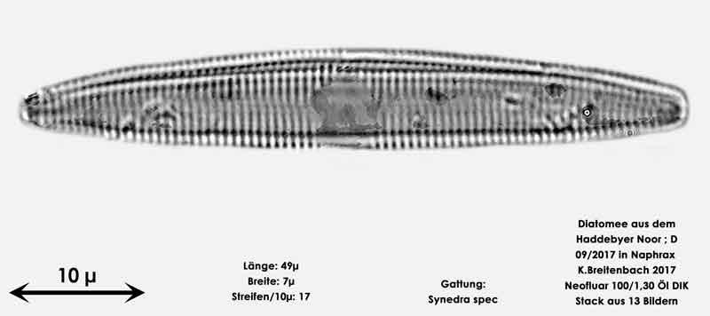 Bild 23 Diatomee aus dem Haddebyer Noor in Schleswig Holstein; Gattung: Synedra spec.