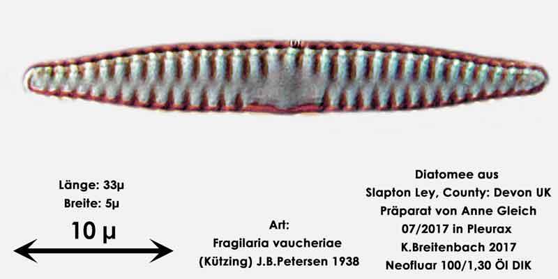 Bild 29 Diatomeen aus Slapton Ley, Devon UK; Art: Fragilaria vaucheriae (Kützing) J.B.Petersen 1938