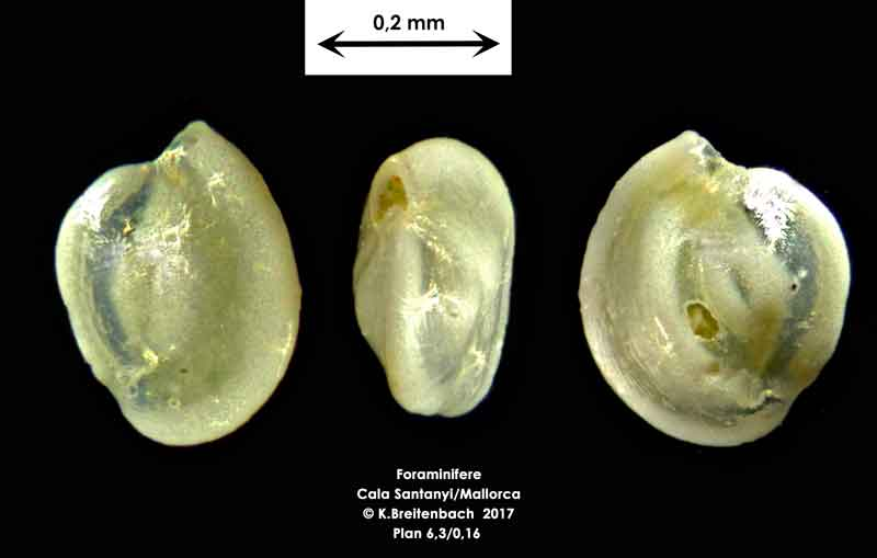 Bild 17 Foraminifere aus Mallorca Cala Santanyi, Art: Quinqueloculina sp.