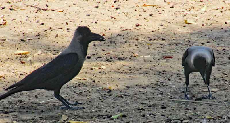 Bild 14 Krähen im Qurum Park in Muscat