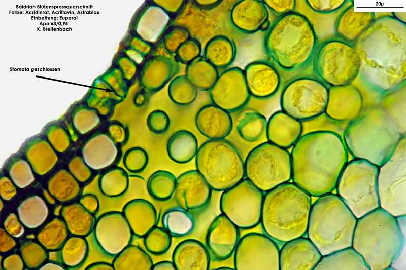 Bild 10 Blütensprossquerschnitt Stomata im Spross; Baldrian (Valeriana officinalis); Vergrößerung: 63fach