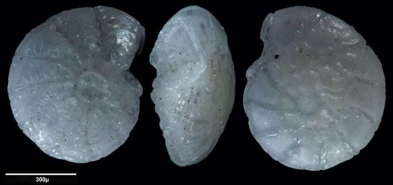 """Bild 10 Foraminifere aus Sand vom Lido in Venedig. Gattung: Ammonia sp, Koordinaten: 45°24'49.1""""N 12°22'42.0""""E"""
