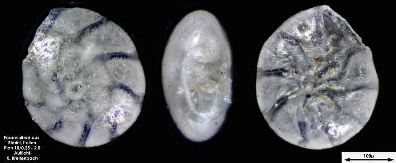 Bild 8 Foraminifere aus Strandsand aus Rimini; Gattung: Ammonia sp.