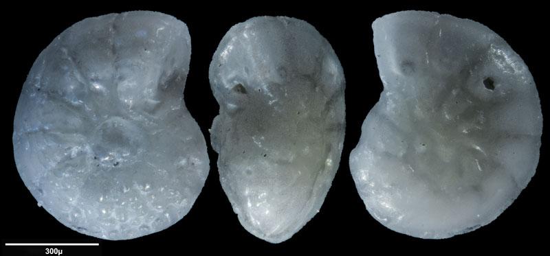 """Bild 17 Foraminifere aus Sand vom Lido in Venedig. Gattung: Ammonia sp, Koordinaten: 45°24'49.1""""N 12°22'42.0""""E"""