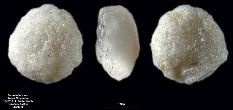 Bild 27 Foraminifere aus Koper/Slowenien Art: wurde von mir nicht bestimmt