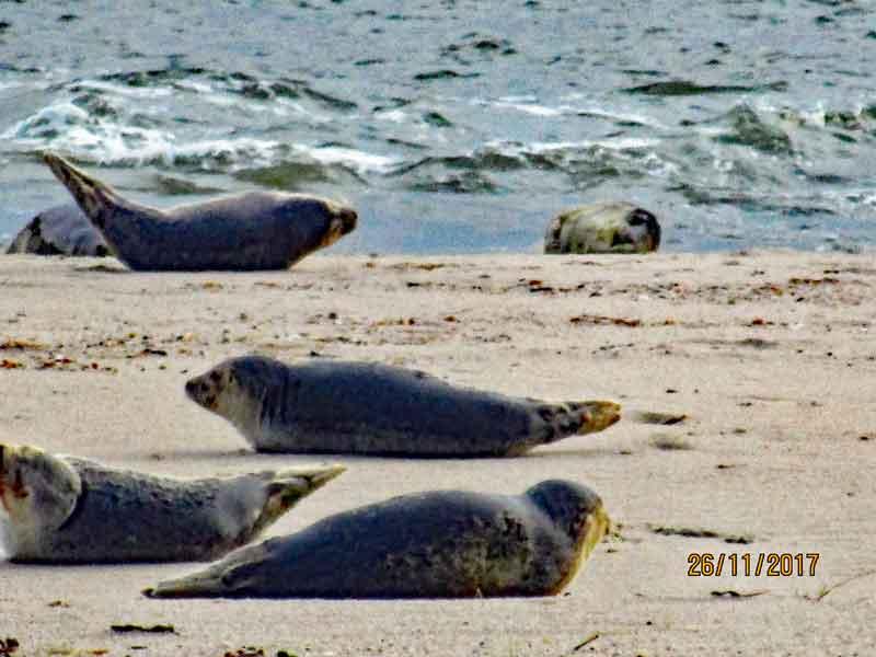 Bild 8 Robben am Watt