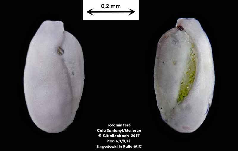 Bild 20 Foraminifere aus Mallorca Cala Santanyi, Art: Quinqueloculina sp.
