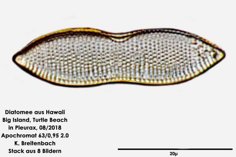 Bild 41 Diatomee aus Hawaii, Big Island, Turtle Beach. Art: Nitzschia constricta (Kützing) Ralfs 1861