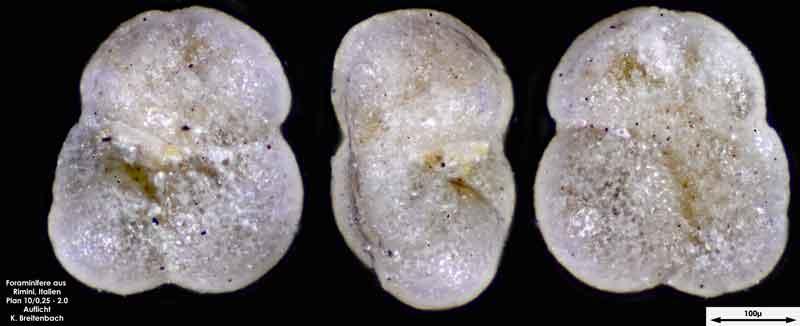 Bild 14 Foraminifere aus Strandsand aus Rimini; Gattung: Globorotalia sp.