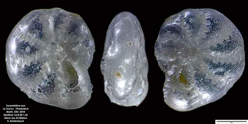 Bild 19 Foraminifere aus Le Crotoy Frankreich. Gattung: Haynesina sp