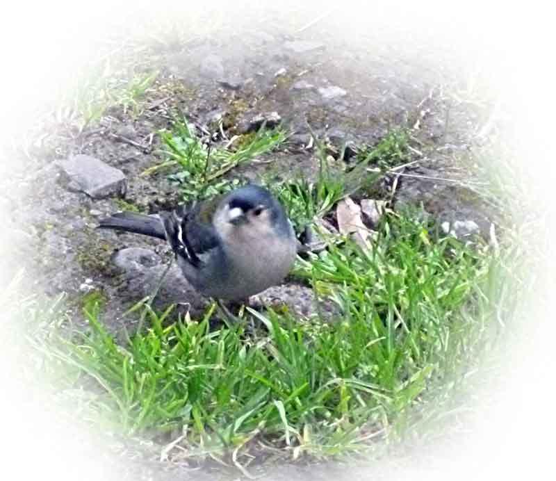 Bild 19 Bergfinken, unterwegs auf der Levada da Ribeira
