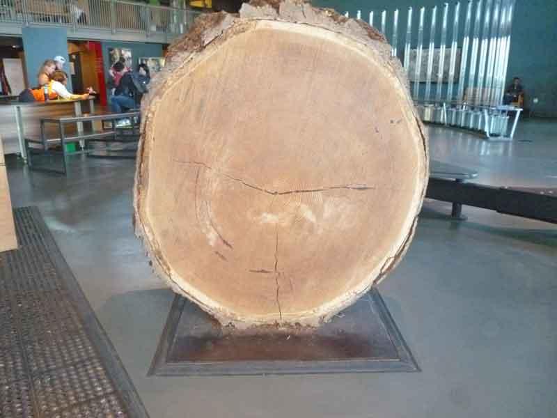 Bild 14 Riesenbaumscheibe im Exploratorium