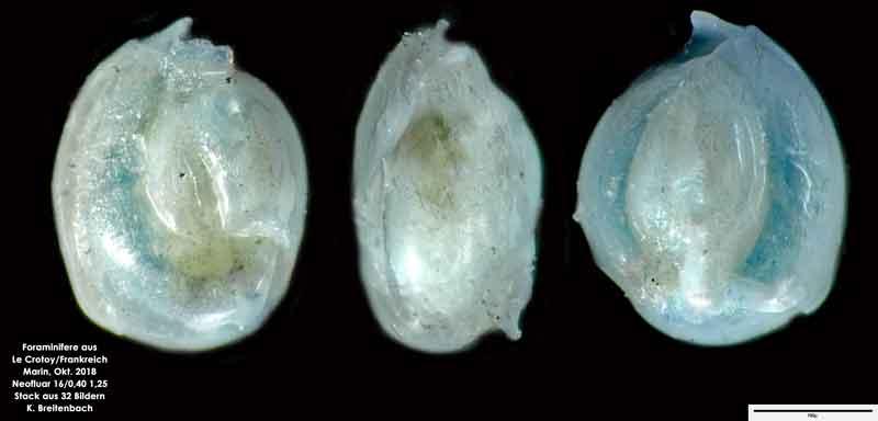 Bild 33 Foraminifere aus Le Crotoy Normandie/Frankreich. Triloculina sp.