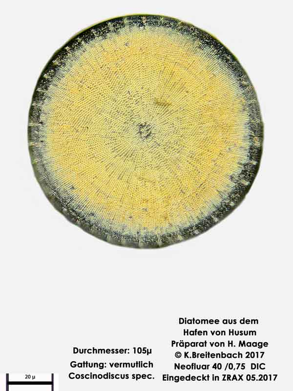 Bild 9 Diatomee aus dem Hafen von Husum Gattung: Coscinodiscus spec.