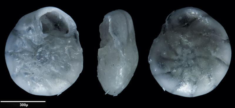 """Bild 12 Foraminifere aus Sand vom Lido in Venedig. Gattung: Ammonia sp, Koordinaten: 45°24'49.1""""N 12°22'42.0""""E"""