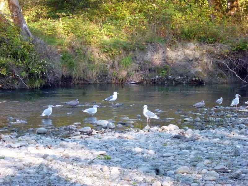 Bild 15 Ein Festessen für die Möwen - tote Lachse am Dosewallip Fluß direkt neben dem Campground