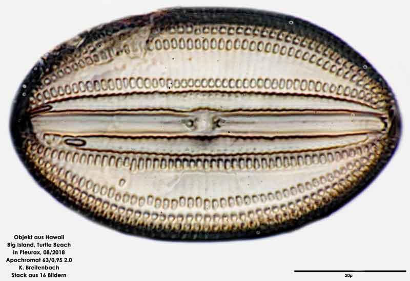 Bild 117 Diatomee aus Hawaii, Big Island, Turtle Beach. Gattung: konnte von mir nicht bestimmt werden