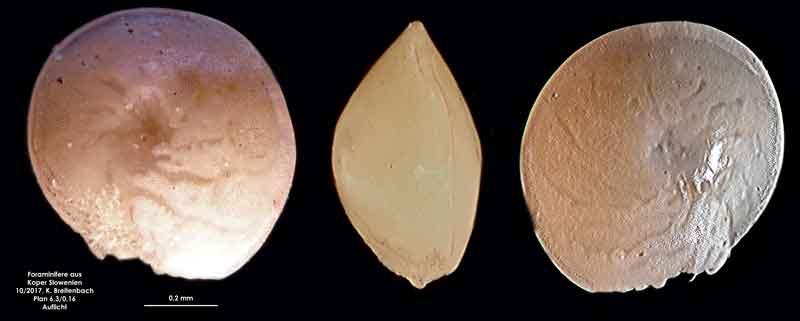 Bild 2 Foraminifere aus Koper/Slowenien Art: spec Ammonia