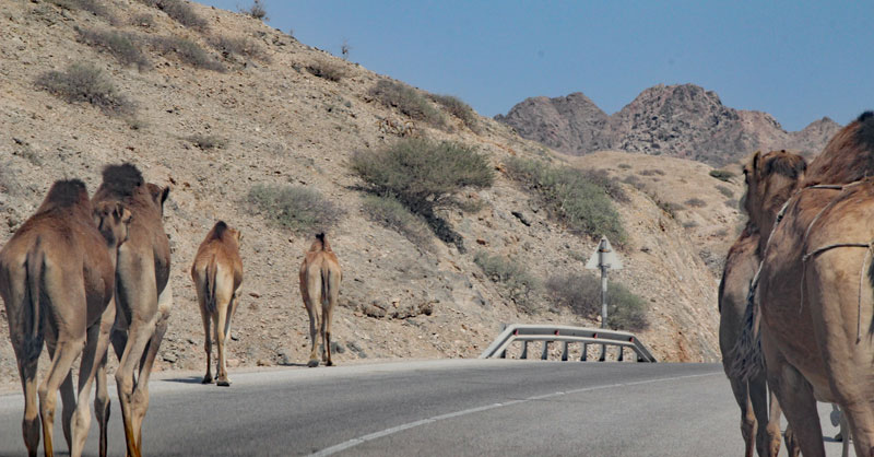 Bild 13 Blick auf die Straße, Kamele sind unterwegs