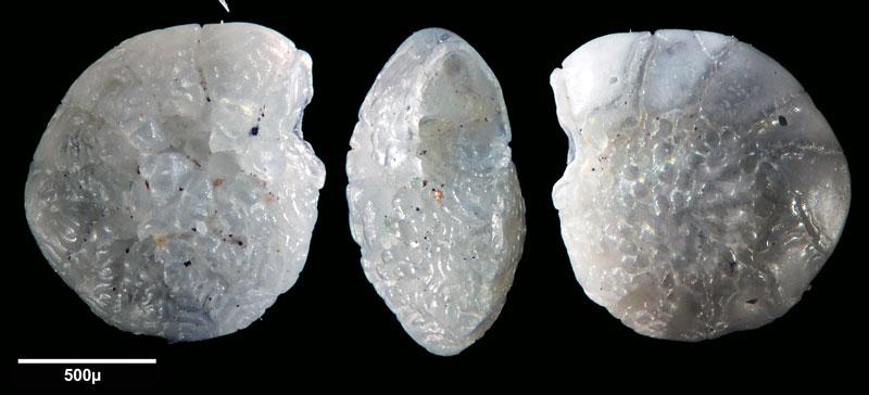 """Bild 7 Foraminifere aus Sand vom Lido in Venedig. Gattung: Ammonia sp, Koordinaten: 45°24'49.1""""N 12°22'42.0""""E"""