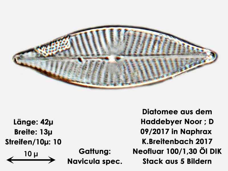 Bild 18 Diatomee aus dem Haddebyer Noor in Schleswig Holstein; Gattung: Navicula spec.