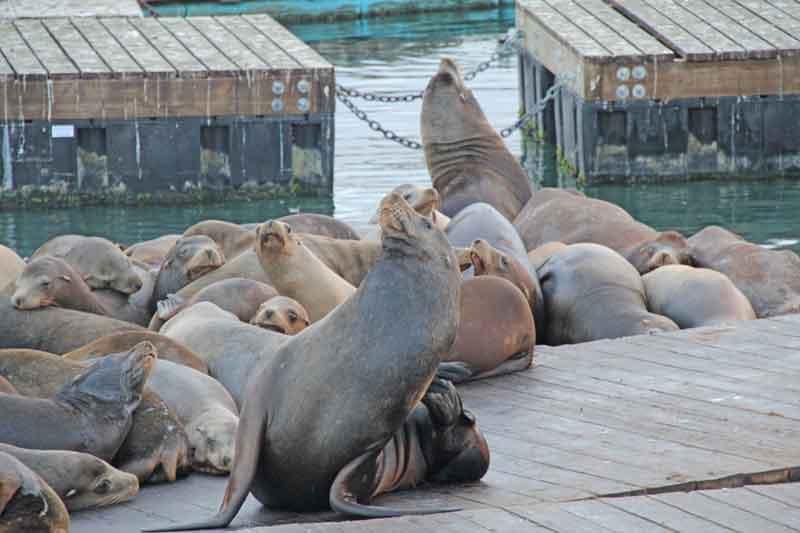 Bild 43 Seelöwen am Pier 39